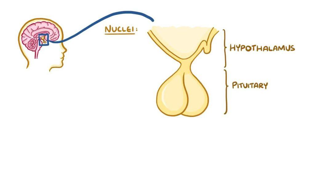 اکسی توسین و پرولاکتین